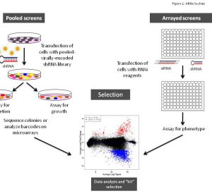 Figure 1 Schematic illustration of arrayed or pooled RNAi screens in cells. Left panel. Pooled-viral vectors encoding libraries of shRNAs targeting multiple genes can be used to transduce a target cell population in a single tissue culture dish. After selection for the desired phenotype, cells are analysed for the identification of genes whose inhibition by RNAi knockdown cause the specific phenotype as described in Table 1. The relative abundance of each shRNA or a random 60-mer barcode expressed from the same vector as the specific shRNA can be identified and quantified by labelling the PCR product with fluorescent dyes (e.g., Cy5 or Cy3). The PCR products are then hybridised to custom designed cDNA microarrays containing barcode or shRNA complementary oligonucleotides. The relative abundance of barcodes obtained from the cells that were exposed to selective pressure are compared to that detected in control cells that have been exposed to the same shRNA library, but not to the selective pressure (for example, drug treatment or genetic mutations). Right panel. Arrayed RNAi screen libraries consist of individual siRNA or shRNA reagents that target different genes and that are placed in each well of a multi-well plate. RNAi reagent libraries can comprise synthetic siRNAs, plasmid-or virally-encoded shRNAs. Various assay readouts are used to determine the effect of RNAi on the phenotype as described in Table 1. Adapted10.