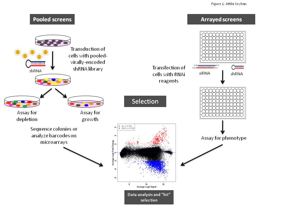 RNAi screens for the identification and validation of novel targets ...
