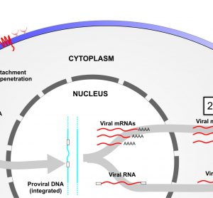 Figure 1 Targeting viral-associated RNAs at different stages of infection. Step 1, targeting of incoming RNA; step 2, targeting of viral mRNAs following provial integration; and step 3, targeting viral outgoing pregenomic template DNA.
