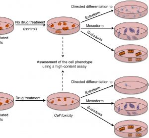 FIGURE 2 Outline of a strategy for testing drugs that perturb embryonic development. Undifferentiated hES cells are grown in (a) control conditions and (b) in the presence of a drug, and then assessed by a high content assay to determine the effect of a drug on cells (by examining the number of cells, expression of markers associated with the differentiated and undifferentiated state, colony number and size). Cells from both conditions are then induced to differentiate to specific cell types to assess the effect of drug treatment on the differentiation ability of hES cells. For example, low number of neurons upon drug treatment may indicate neurotoxic effects of the drug
