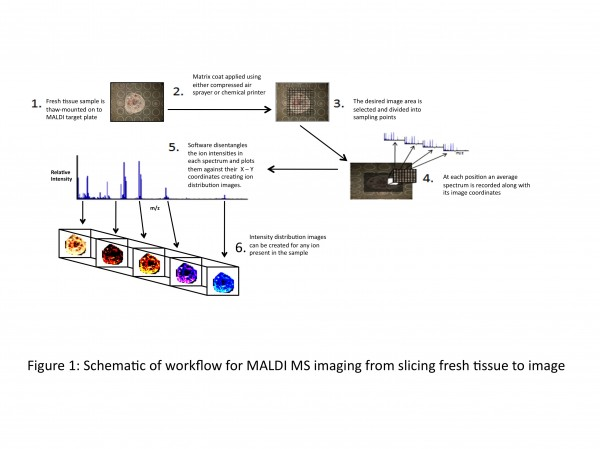 Figure 1 Schematic of workflow for MALDI MS imaging from slicing fresh tissue to image
