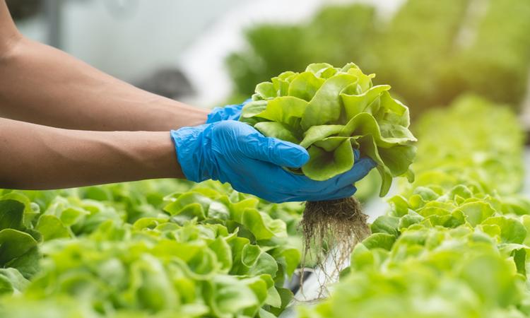Hands holding lettuce leaves