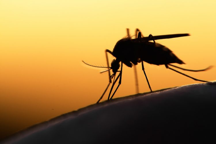Mosquito transmitting malaria