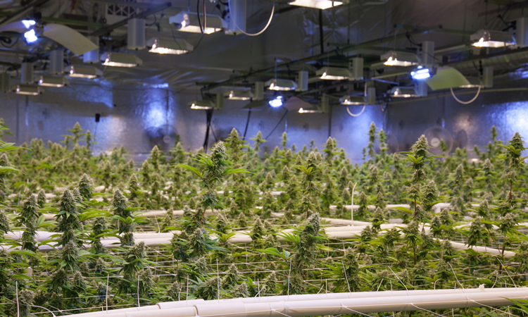 Commercial cannabis growth